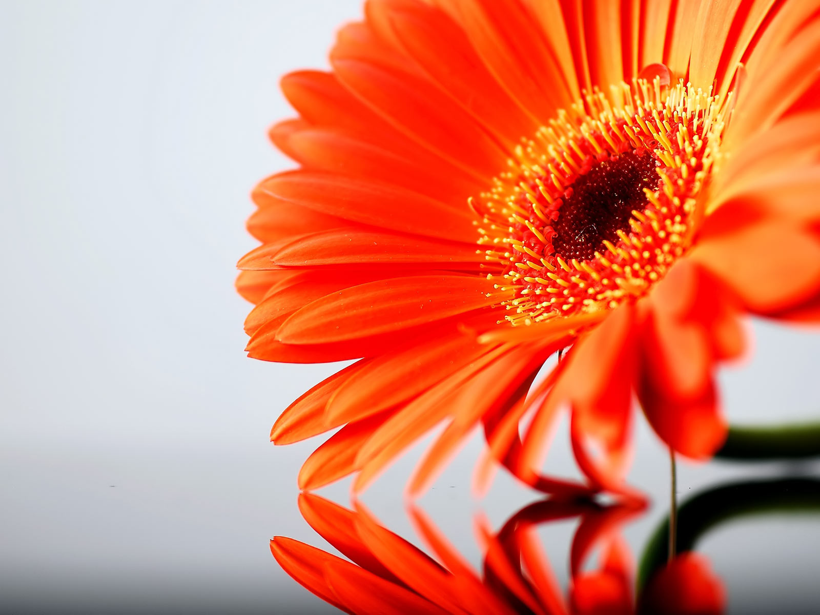 Orange and white roses for time and all eternity orange gerbera daisy mightylinksfo